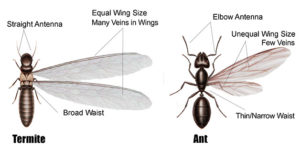 termites and ants differences