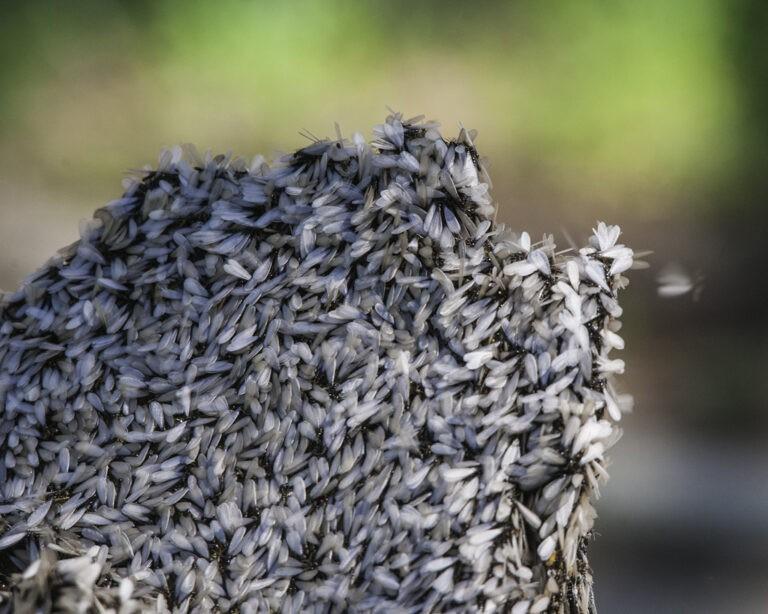 termites alates during swarming season