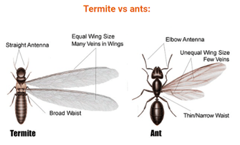differences between termites and ants