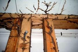 termites mud tunnels