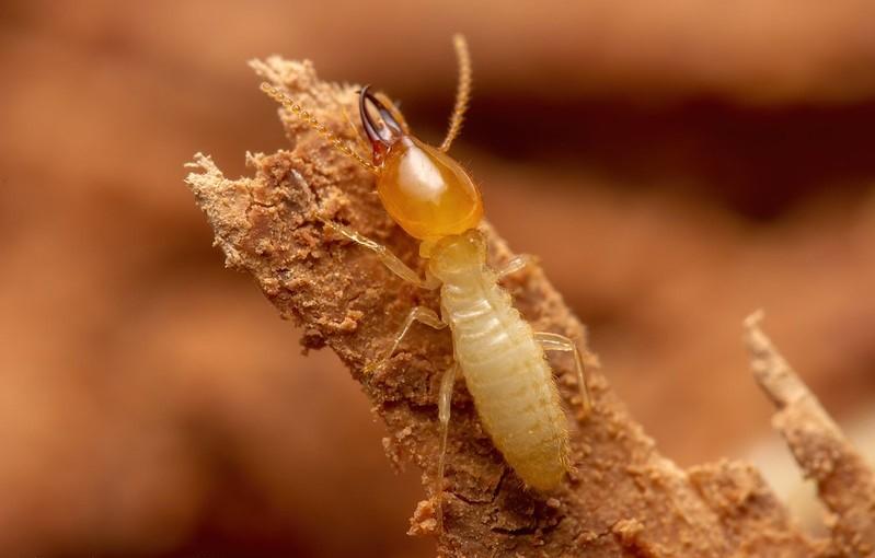 formosan termite